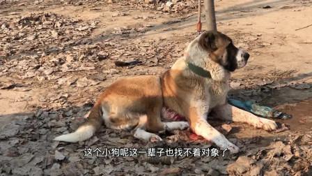 凶猛无比的猎狼犬,分分钟将刚成年的高狼犬,咬的生活不能自理!