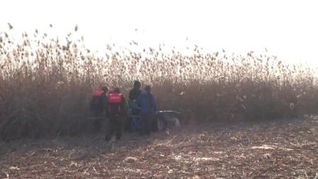 安新新闻:白洋淀芦苇收割开始