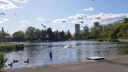 海鸥偷袭大鹅幼崽,反被按在水里一顿暴揍,网友:太惨了