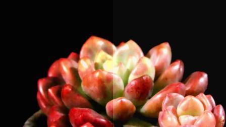 多肉植物香奈儿:景天科拟石莲花属植物,中小型品种,易养护!