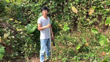 滴水观音农村遍地都是无人摘培,在城里它能卖到上100元一盆