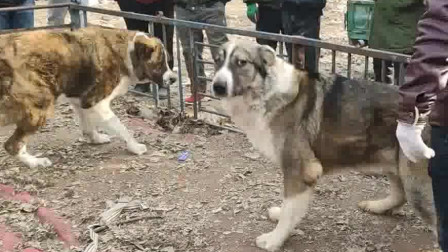 两只都是一百五六十斤的虎皮猎狼犬,体型巨大,只是性格让人担忧