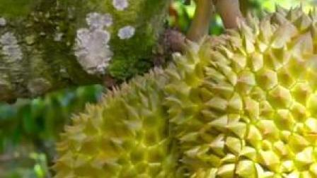 一年吃掉57.5万吨,中国成泰国榴莲最大买家!你爱吃榴莲吗?