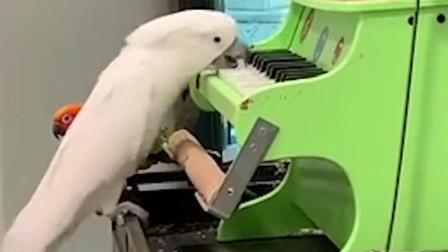 鸟界最强钢琴师