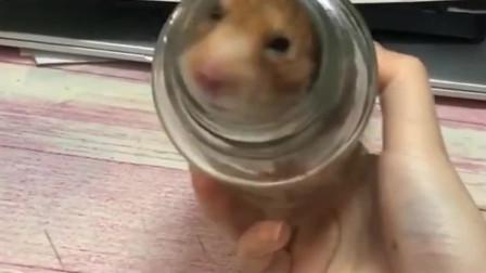淘气的竹鼠钻进瓶子,怎么努力都没有逃脱出去,你们有什么好的办法吗?