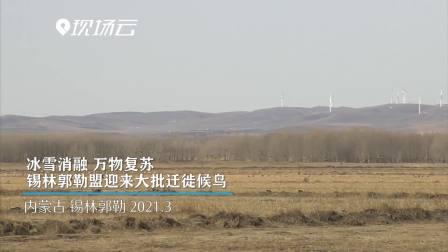 冰雪消融、万物复苏 锡林郭勒盟迎来大批迁徙候鸟