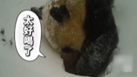 野生大熊猫雪地刨坑喝水,喝到醉氧困直接歪倒