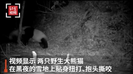 """""""滚滚大战""""!四川平武两只野生大熊猫激烈打斗17分钟被拍下"""