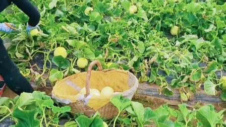 陕西阎良甜瓜,头茬现摘每天上午去园里采摘