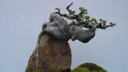 榆树是很好的盆景素材,制作成盆景也不复杂,关键是素材好找