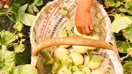 陕西阎良甜瓜,甜瓜之乡每天采摘成熟瓜