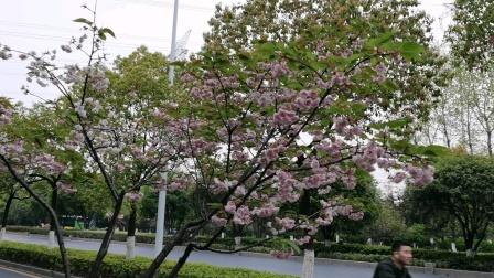 杭州下沙6号路樱花美景