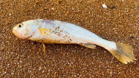 大海退潮后,大齐发现比手掌还大的黄花鱼张着嘴,居然还活着