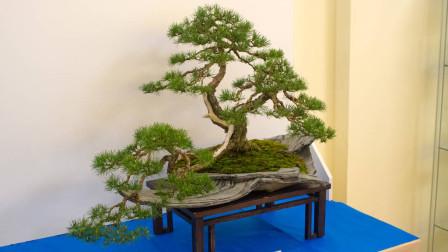 制作容易,养护简单的三角枫盆景,让人喜欢上无法抗拒的枫叶诱惑