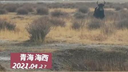 4月27日,青海海西。#男子向牦牛问路结果牛直奔而来。网友:它想过来告诉你,跑什么呀!
