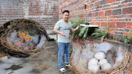 小鸟在屋顶安营扎寨,生了5颗蛋孵化出小鸟,下雨给小鸟遮风挡雨
