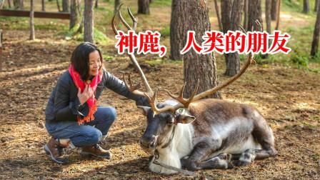 中国大兴安岭独有的驯鹿,天生亲近人类,密林中遇到有可能跟你走