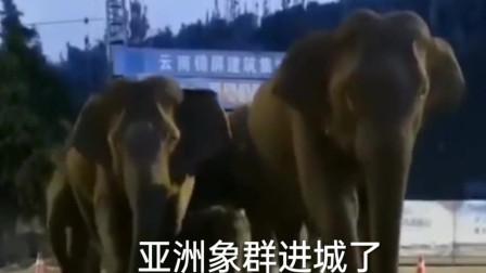 峨山彝族自治县县城进了一群亚洲象,它们下一站会去哪里呢