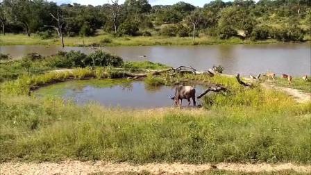 大自然野生动物惊心动魄的脱险瞬间,最后小鹿的走位堪称完美