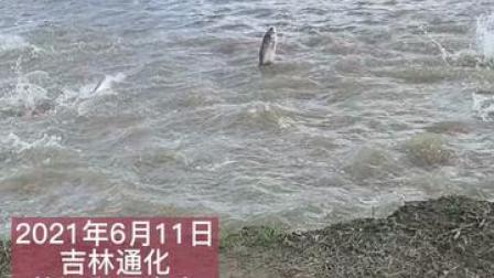 """2021年6月11日,吉林通化,柳河和平水库涨水,现""""鲤跃龙门""""景观,大哥拿渔网捞好久不得,让人哭笑不得!"""