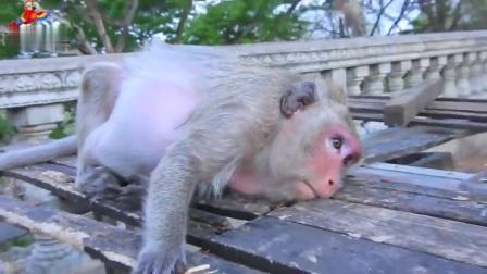 百夫长老猴子阿玛拉它太老了,为很难在控制局面而非常难过!