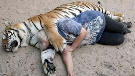 东北虎睡觉非抱着女主人,睡醒之后立马翻脸,镜头记录全过程!