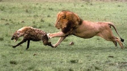 小狮子惨遭鬣狗无情捕杀,雄狮赶来报仇,下一秒意外出现!