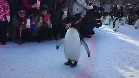 日本的旭山动物园,让游客和企鹅能这么近距离接触,感觉好奇妙啊