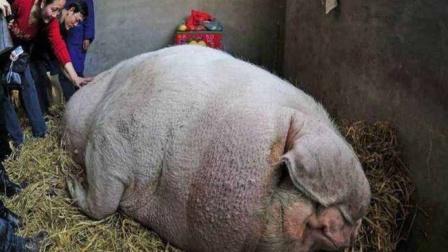 大爷养猪一直不杀,养着养着猪不对劲了,镜头记录全过程!
