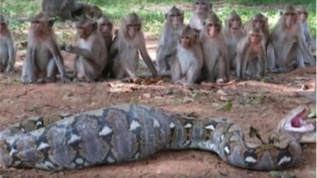 5米大蟒生吞一只猴子,竟惨遭猴群集体报复,镜头拍下可怕画面!