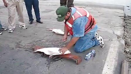 捕鱼人-了解如何从研究员杜安查普曼圆角亚洲鲤鱼。钓鱼方法