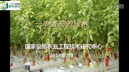 鸡尾酒串番茄的成熟