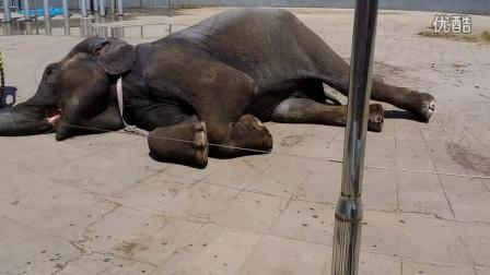 大象甜甜来临沂动植物园啦
