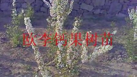 欧李苗 欧李种植 欧李价格 欧李果 欧李图片 水文苗木繁育中心