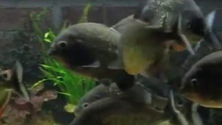 食人鱼攻击黄金锦鲤