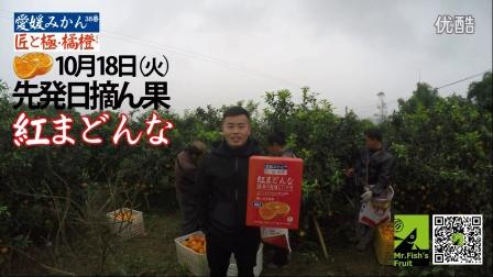 10月18日摘果日  匠と極 爱媛38号橘橙