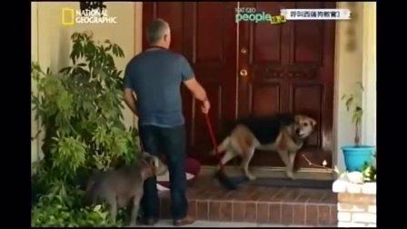 狗语者也搞不定狂犬,让比特犬来壮势