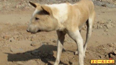 04-27期每日一狗之流浪狗救助:流浪狗患巨大脓肿让人怜悯,被爱心人士救助