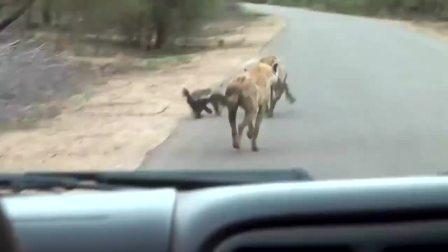 平头哥半路碰见了鬣狗,生死看淡不服就干