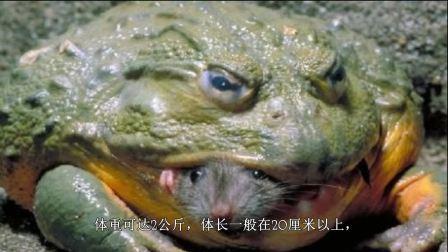 世界最大的蛙类什么都敢吃非洲牛箱头蛙