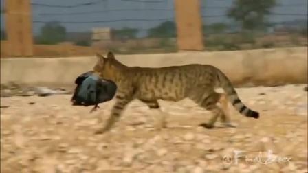 恶魔小猎手:猫咪捕杀猎物的视频集锦