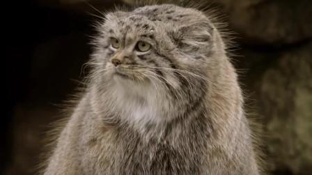 猫科动物中的隐士:兔狲