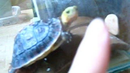 黄缘闭壳龟张大嘴
