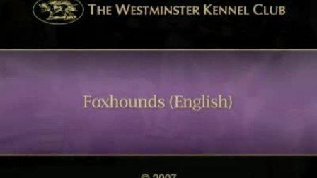 【英国猎狐犬】