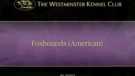【美国猎狐犬】