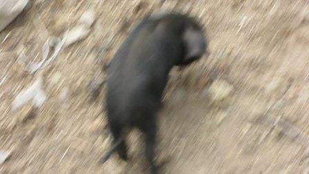 西当温泉 的 藏区 小香猪