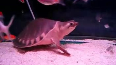 (20091202)大猪鼻龟吃西红柿