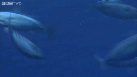 南太平洋 钓金枪鱼 [高清HD]