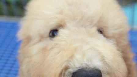 最可爱香槟色巨型贵宾幼犬