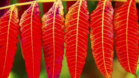海河的深秋和红叶
